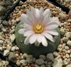 Lophophora williamsii San Antonio