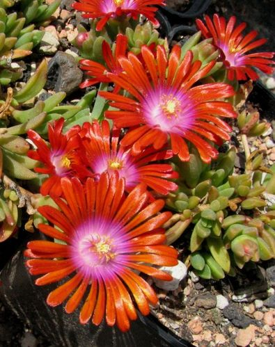 "Delosperma cv. ""Red Fire"""