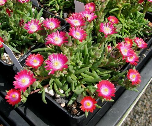 "Delosperma ""Jewel of Desert Amethyst"""
