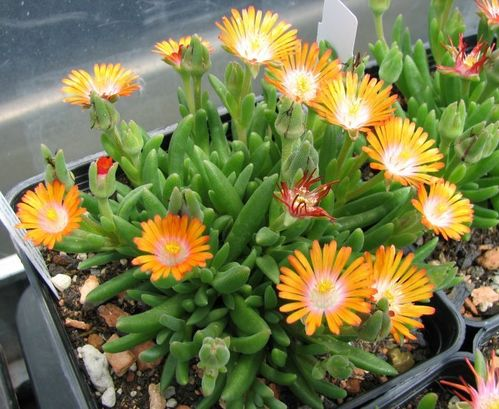 "Delosperma ""Jewel of Desert Topaz"""