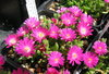 "Delosperma ""Jewel of Desert Opal"""