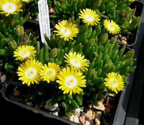 "Delosperma ""Jewel of Desert Peridot"""